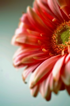 dreamy gerbera flower