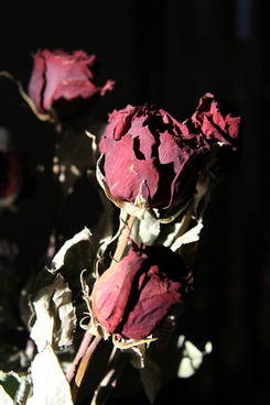 dried roses red