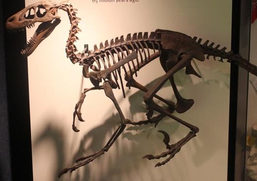 dromaeosaur skeleton