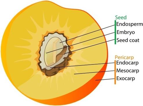 Drupe Fruit Diagram En clip art