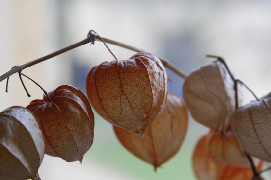 dry physalis at home