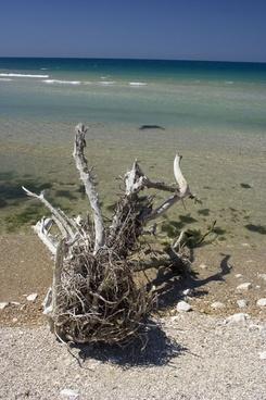 dry tree on the beach