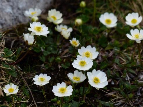 dryas octopetala flower white