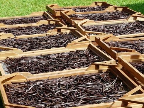 drying vanilla beans mauritius
