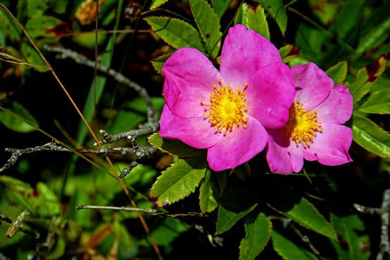 dsc01028 wild rose