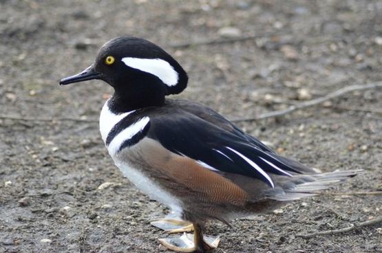 duck animal wild ducks