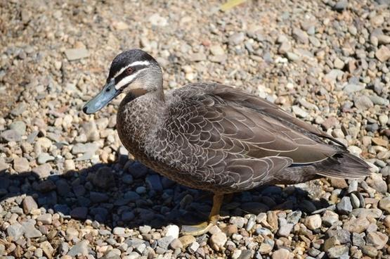 duck australian duck wild duck