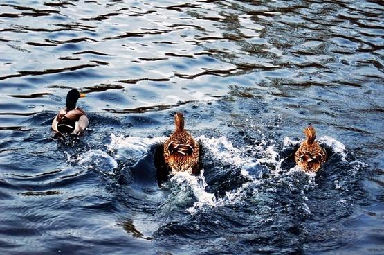 duck ducks nature