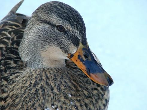 duck ducks water