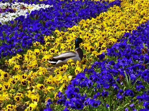 duck flower bed pansy