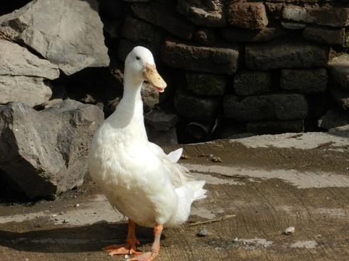 duck indian duck white duck