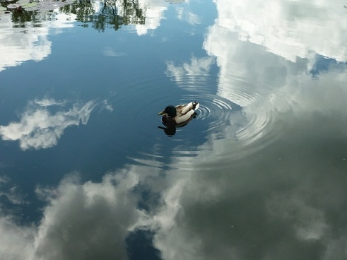 duck sky reflection