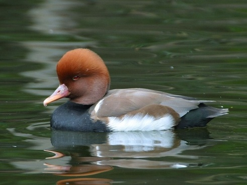 duck water bird headdress