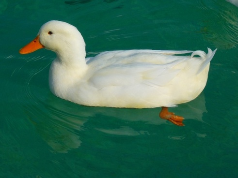 duck white duck ducks