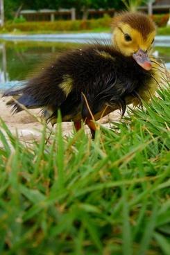 duckling grass animal
