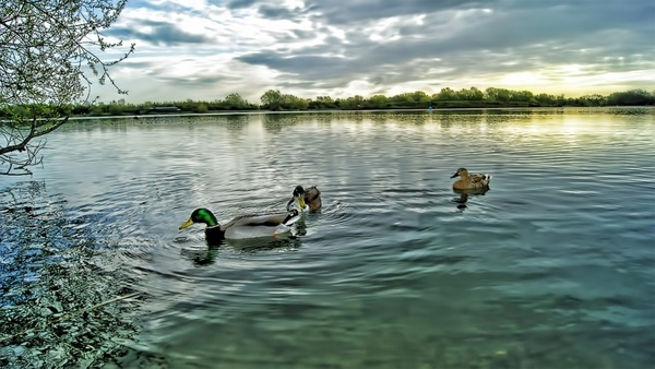 ducks duck water