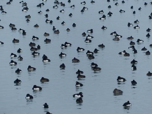 ducks waterfowl water