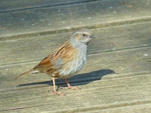 dunnock bird animal