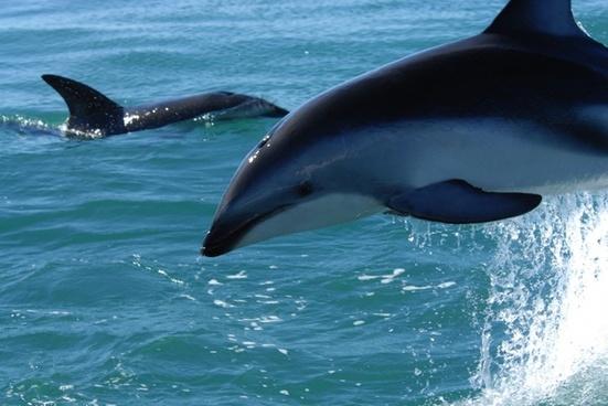 dusky dolphin dolphins sea