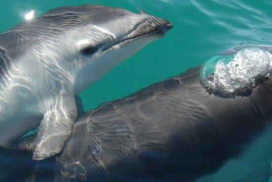 dusky dolphin sea ocean