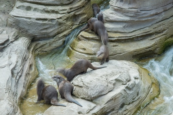 dwarf otters on the move
