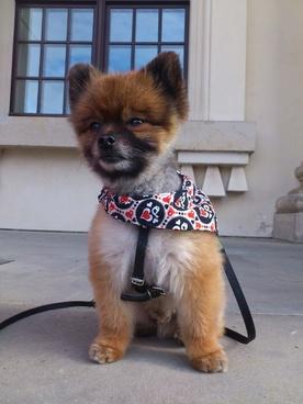 dwarf spitz pomeranian dog