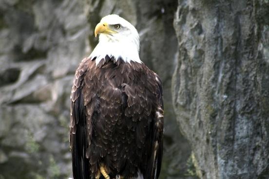 eagle american bald