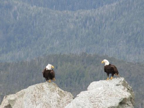 eagle stare down