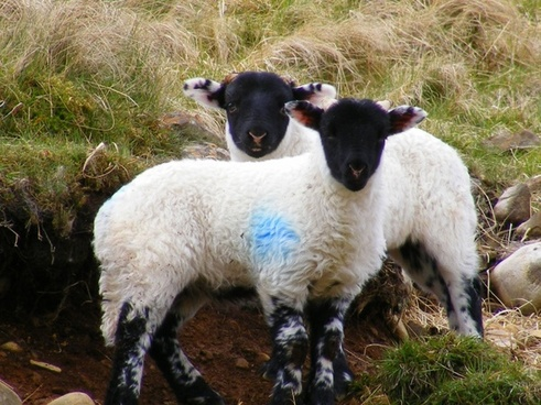 early lambs