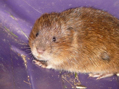 east water vole mouse face