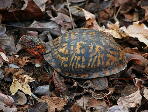 eastern box turtle terrapene carolina land turtle