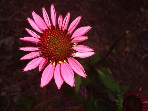 echinacea pink nature