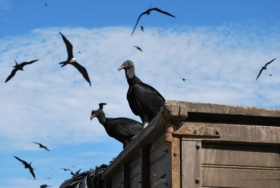 ecuador black vulture birds