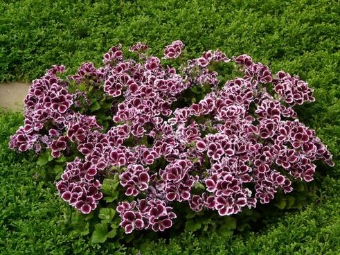 edelgeranie geranium geranium greenhouse