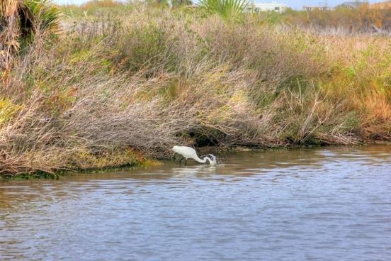 egret fishing for prey at galveston island state park texas