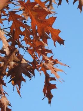 eicehnblaetter oak red