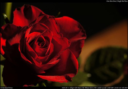 eine rote rose single red rose