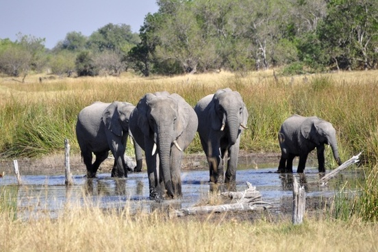 elephant africa okavango delta