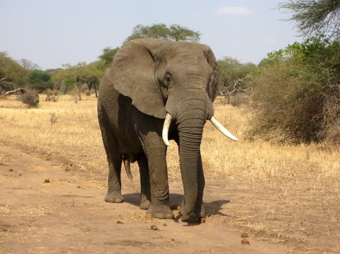elephant african bush elephant savannah