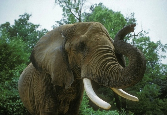elephant african savannah animal