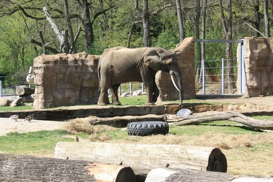elephant animal mammal