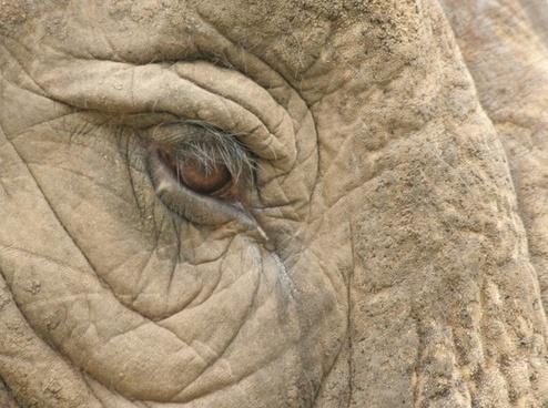 elephant eye africa