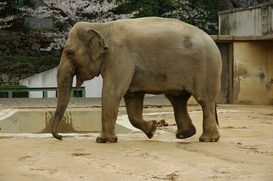 elephant in kobe zoo