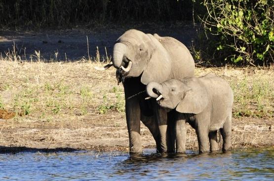 elephant water elephant dam