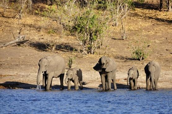 elephant water elephant elephant calf