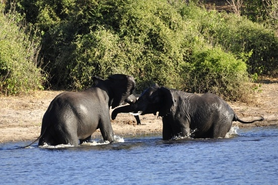 elephant water elephant fight