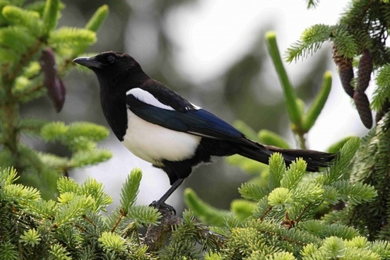 elster magpies birds