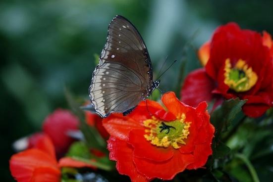 elymnias hypermnestra butterfly animal