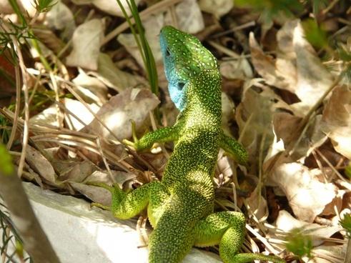 emerald lizard lizard reptile