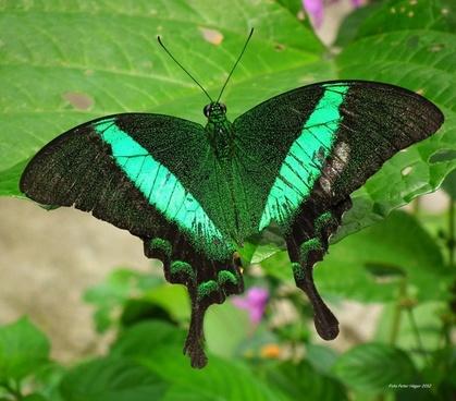 emerald swallowtail emerald peacock green-banded peacock